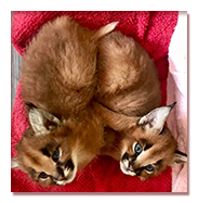 buy kittens caracal