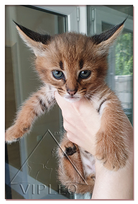 buy caracat, caracat kittens to buy, buy caracat Ukraine, sale caracat kittens selling russian caracat, selling hand-caracat kittens, buy Russian caracal, caracal kittens to buy, buy,  caracal sale, selling caracal kittens, caracal kittens selling hand, buy ocelot, ocelot Russia buy, sell Ukraine ocelot, ocelot kittens selling,caracal, the choice of a kitten, nature, food, feeding, toilet training, with other animals, buy a serval, serval kittens to buy, buy serval, serval for sale, buy Caracal, Caracal kittens to buy, buy caracal, caracal sale, selling caracal kittens, selling caracal kittens hand, buy ocelot, caracal buy, buy ocelot, caracal kittens for sale, selling kittens ocelot, caracal kitten buy, buy kitten caracal caracal kitten buy in Russia, buy caracal kitten price karakalenok, caracat, caracak, karakal, pet, animal, cattery,  serval cat, serval kitten, savanna, savannah, savanna cat, exotic cat, big kitty, chausie, exotic pets, exclusive, rare cat, rare, luxury, luxury cats caracat_vipleo_kuzmina, rjntyjr rfhfrtn