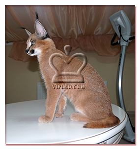 buy a kitten caracal