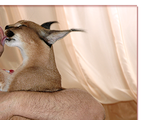caracal kittens buy