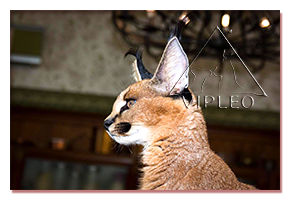 caracal,russia,the choice of a kitten, caracat, buy caracat, nature, food, feeding, toilet training, with other animals, buy a serval, serval kittens to buy, buy serval, serval for sale, buy Caracal, Caracal kittens to buy, buy Caracal, Caracal sale, selling caracal kittens, selling caracal kittens hand, buy ocelot, caracal buy, buy ocelot, caracal kittens for sale, selling kittens ocelot, caracal kitten buy, buy kitten caracal caracal kitten buy in Russia, buy caracal kitten price karakalenok, serval, caracak, karakal, pet, animal, cattery,  serval cat, serval kitten, savanna, savannah, savanna cat, exotic cat, big kitty, chausie, exotic pets, exclusive, rare cat, rare, luxury, luxury cats