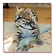 ocelot kittens buy